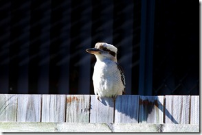 2011-06-20 Kookaburra 007